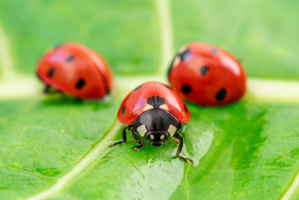 Ladybugs eat aphids. Lots of aphids, both in the larvae stage and as adults. - Clipart.com